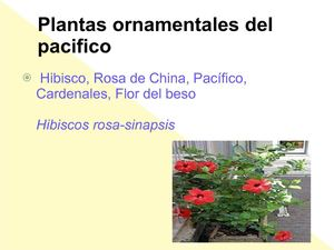Calam o plantas del pacifico for Plantas ornamentales del peru
