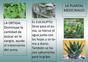 Calam o folleto plantas medicinales - Informacion sobre el eucalipto ...