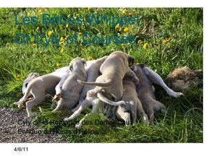 Of Cyly of Course... Les chiots Whippets de Cyly et Enrique