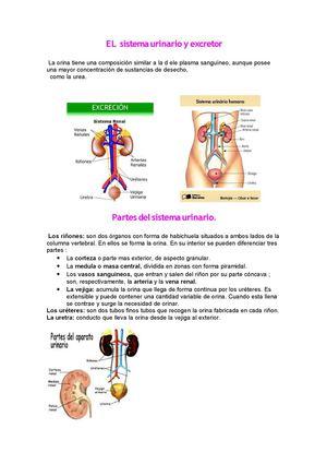 Calaméo - El sistema urinario y excretor.