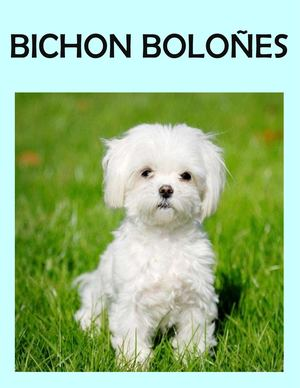 Bichon Boloñes Juliana Colorado